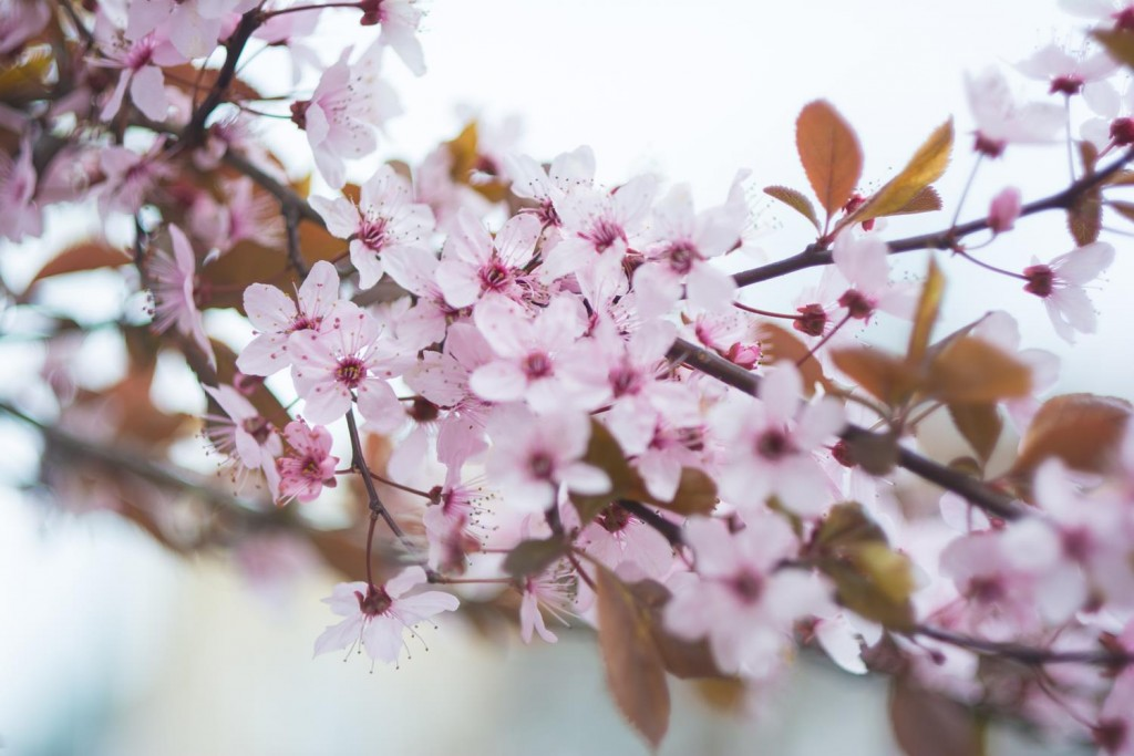 cherry blossoms pink
