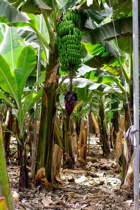 bananna plantation